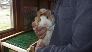 モルモット、ミニウサギがやって来ました
