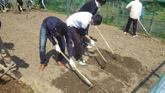 サツマイモの苗を植える段取りをしてます。