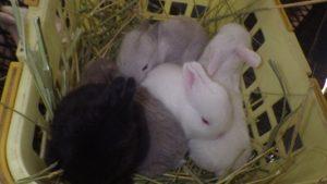 ミニウサギ大きく